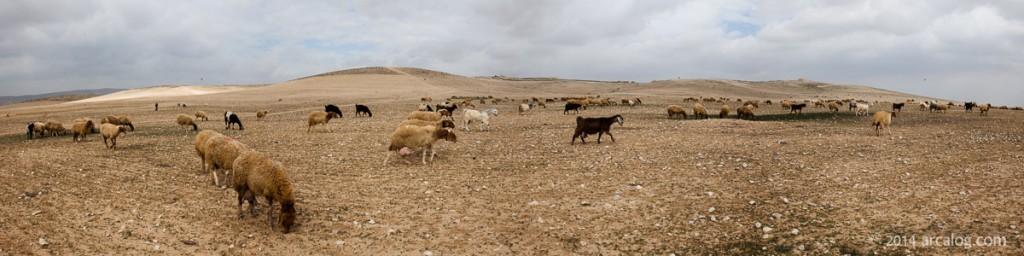 Tel Arad with Shepherd
