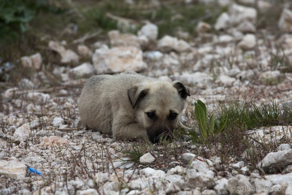 Little Puppy in Van, Turkey